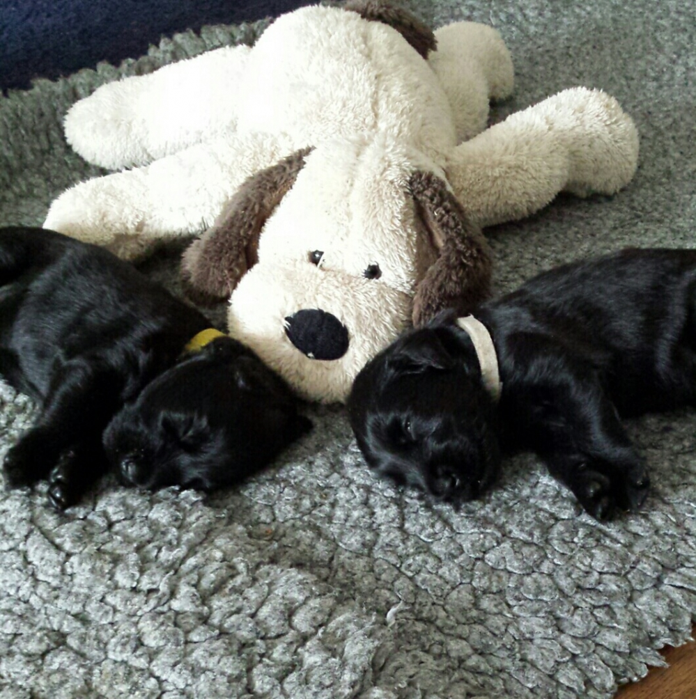 Flatcoated-retriever-puppies-zwart