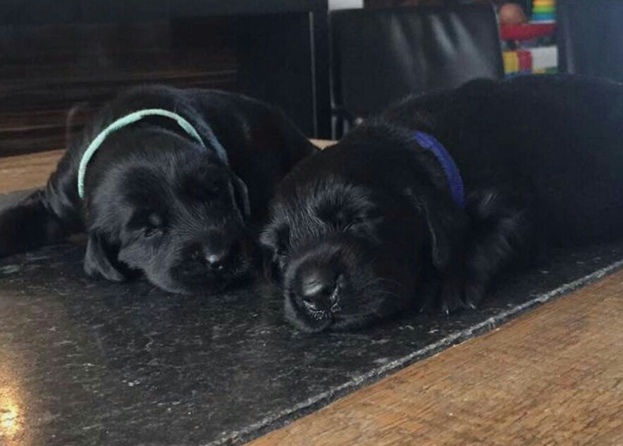 Flatcoated-retriever-pups