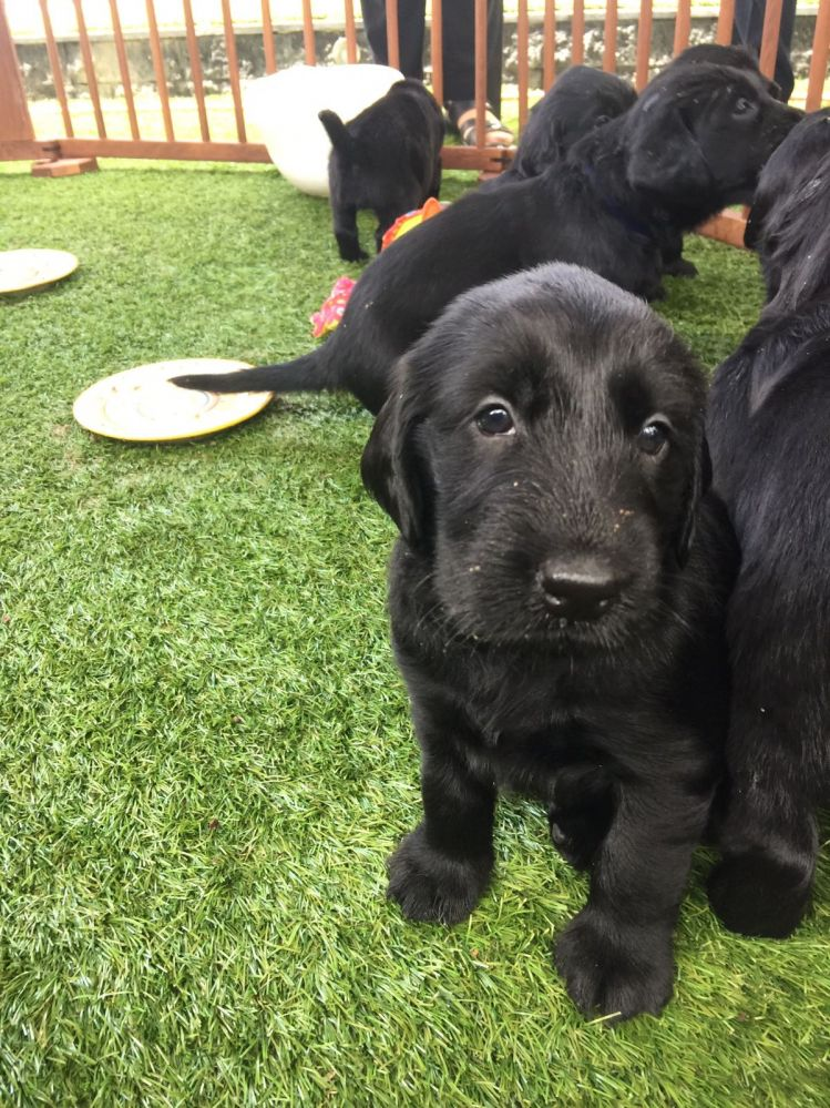 Flatcoated-Retriever-pup-zwart