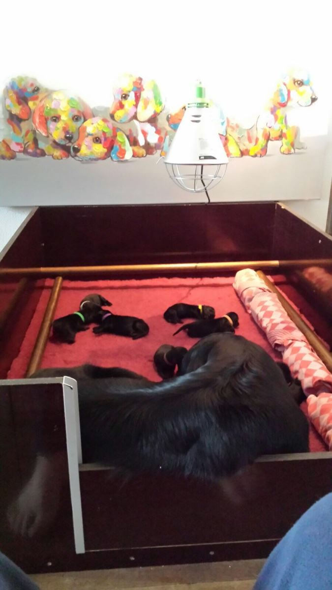 Puppies-flatcoated-retriever-5dagen-oud