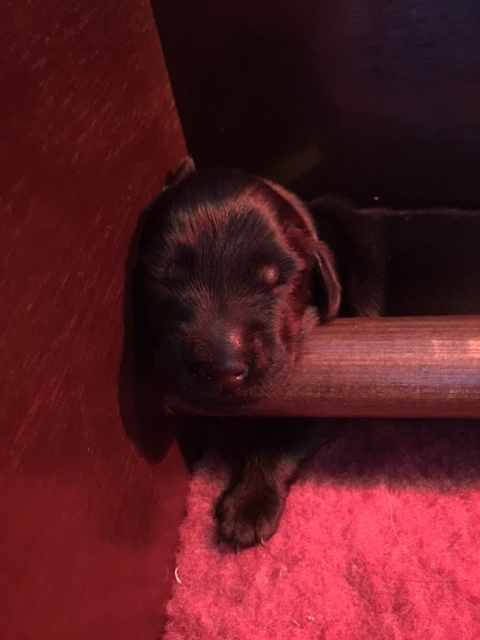 Flatcoated-Retriever-pup-01