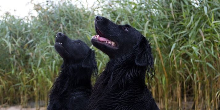 Flatcoated-Retriever-Teefjes